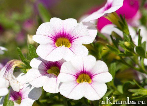 Цветы однолетние с описанием сортов и