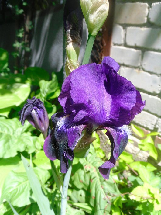 Цветок ирис