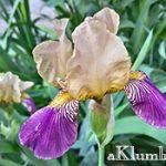 Цветы ирисы — лучшее украшение клумб