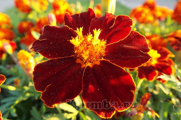 Цветы для альпийской горки
