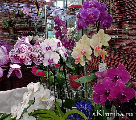 Орхидея Ванда уход и содержание