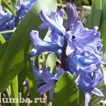 Гиацинты — цветы дождя