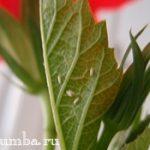 Белокрылка — борьба с вредителем в саду