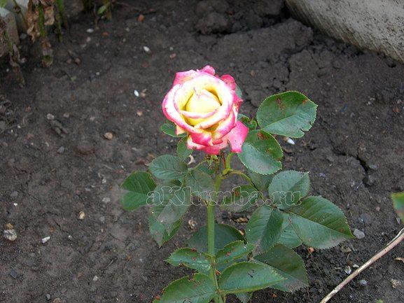Болезни роз Народное средство