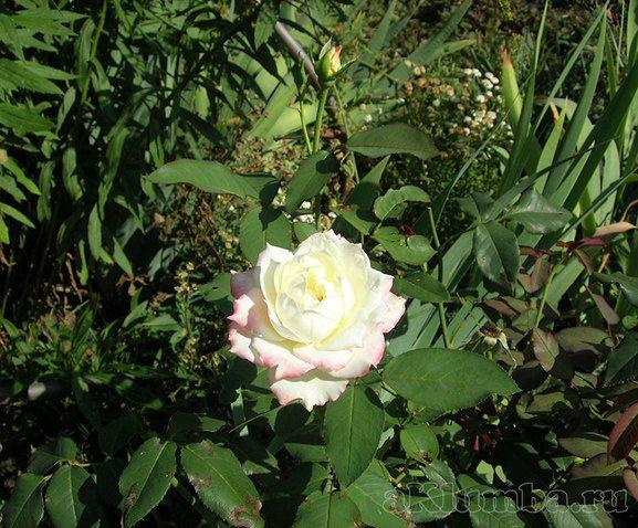 Серая гниль на розах