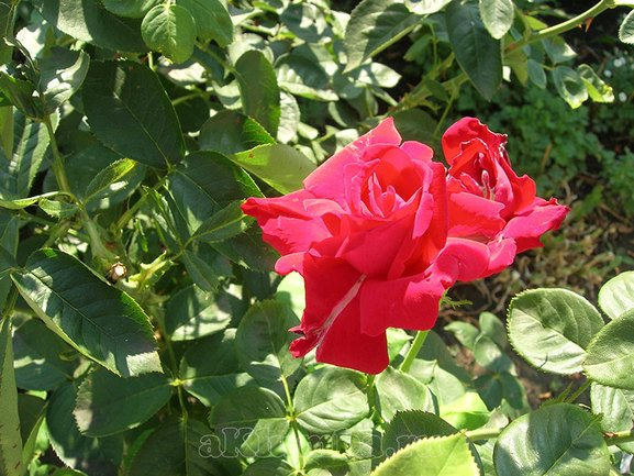 Болезни роз фото