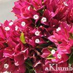 Бугенвиллия — южная красавица