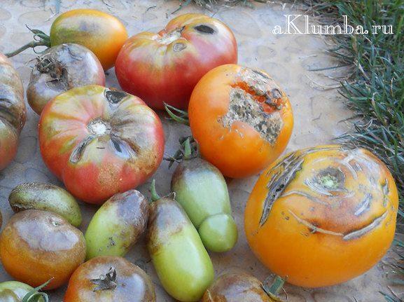 Методы борьбы с фитофторой на томатах