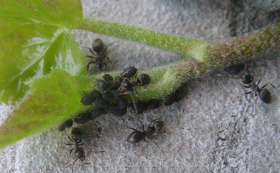 Оригинальный способ избавиться от муравьёв в саду