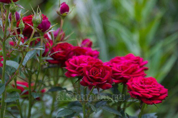 Размещение и посадка кустов роз