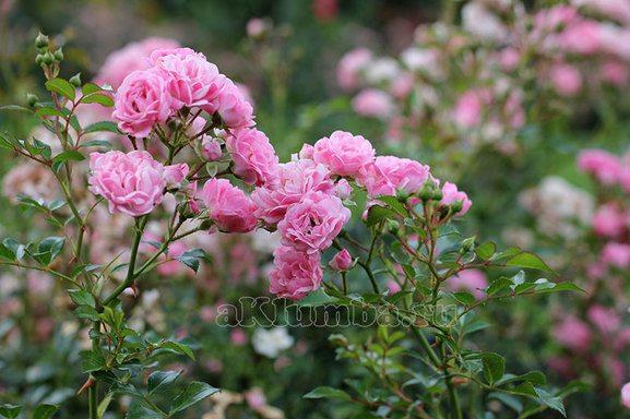Весенняя обрезка кустов роз