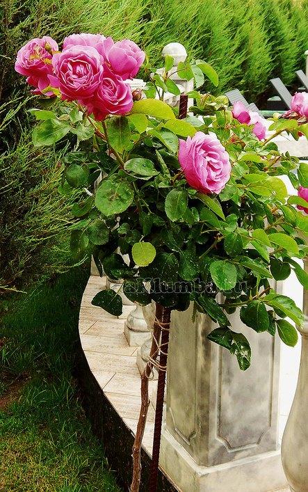 Как вырастить розы фото
