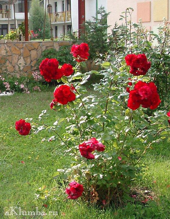 В саду рос куст роз