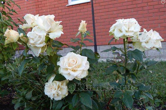 Вредители и возможные болезни роз