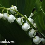 Ландыши — прекрасный аромат весны