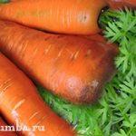 Молодая морковь в июне