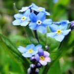 Незабудки — голубая нежность в саду