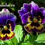 Анютины глазки — нежные весенние цветы