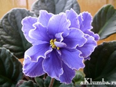 Фиалка — уход за нежными цветами