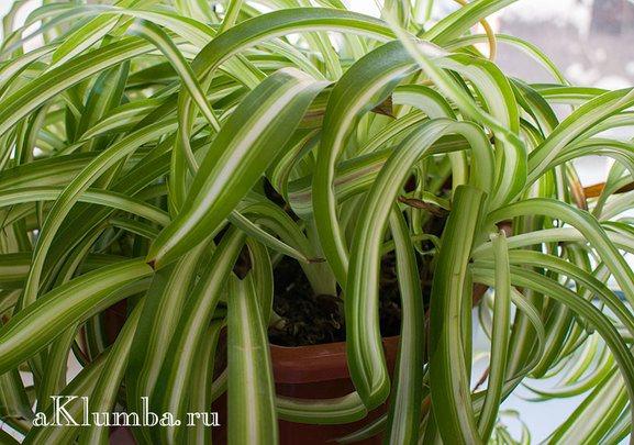 Хлорофитум в доме: 7 магических и целебных свойств растения