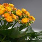 Каланхоэ — цветок жизни
