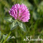 Клевер — целебное растение