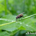 Луковая муха — как с ней бороться