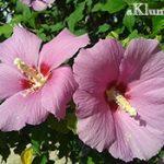 Мальва — все секреты выращиваня