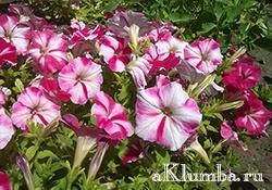 Петуния — самый неприхотливый цветок