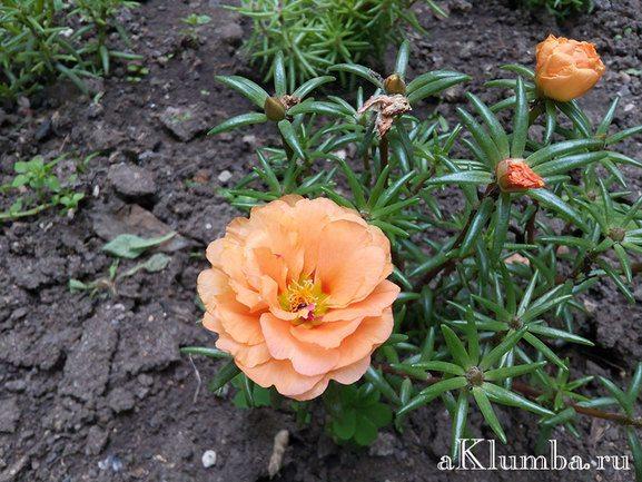 Портулак выращивание из семян