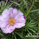 Портулак — выращивание из семян
