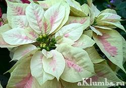 Пуансеттия — рождественская звезда
