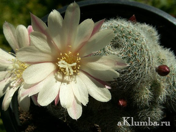 Ребуция белоцветковая