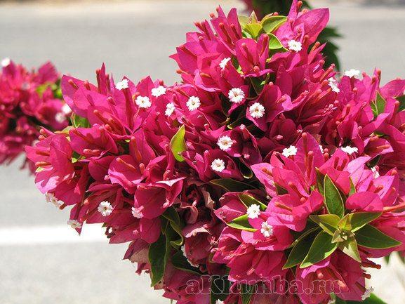 Вьющиеся цветы для сада фото
