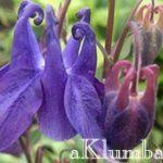 Аквилегия – магический не прихотливый цветок