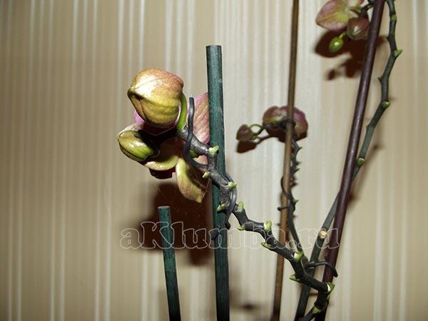 Как избавиться от паутинного клеща на орхидее