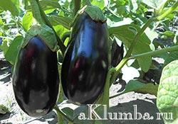 Как посадить баклажаны в открытый грунт рассадой