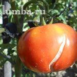 Как предупредить появление трещин на зреющих томатах