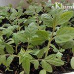Как вырастить крепкую и хорошую рассаду
