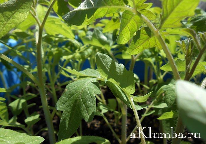 Чем подкормить рассаду томатов