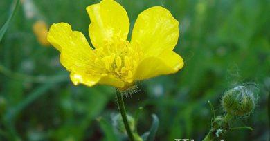 Лютики садовые — посадка и уход