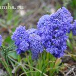 Мускари — ранние цветы