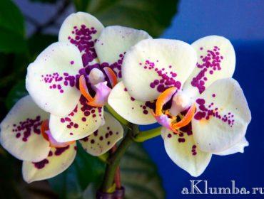 Виды орхидей с фото и названиями