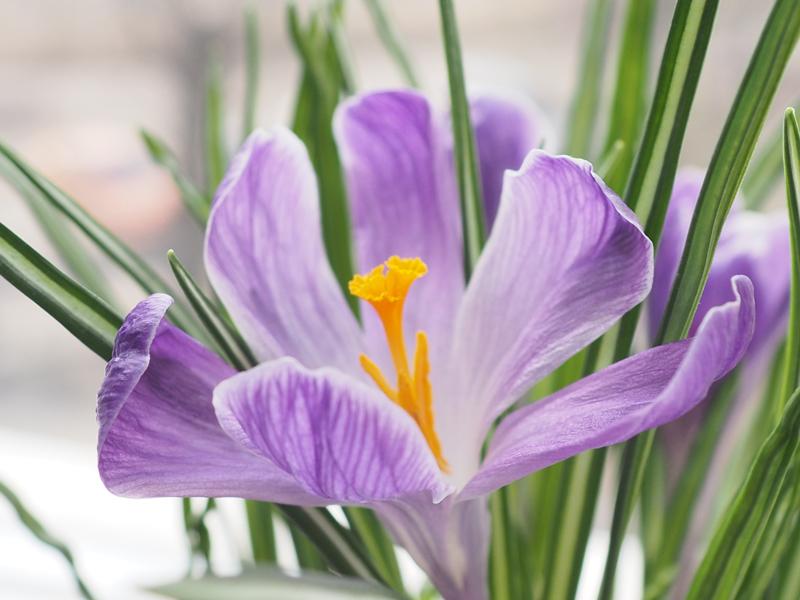 весенний полосатый крокус