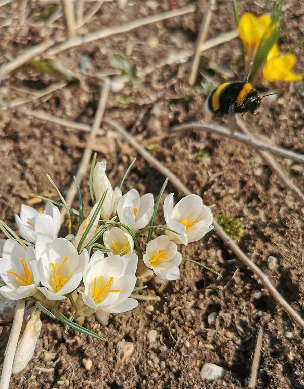 Шмель собирает нектар с белых крокусов