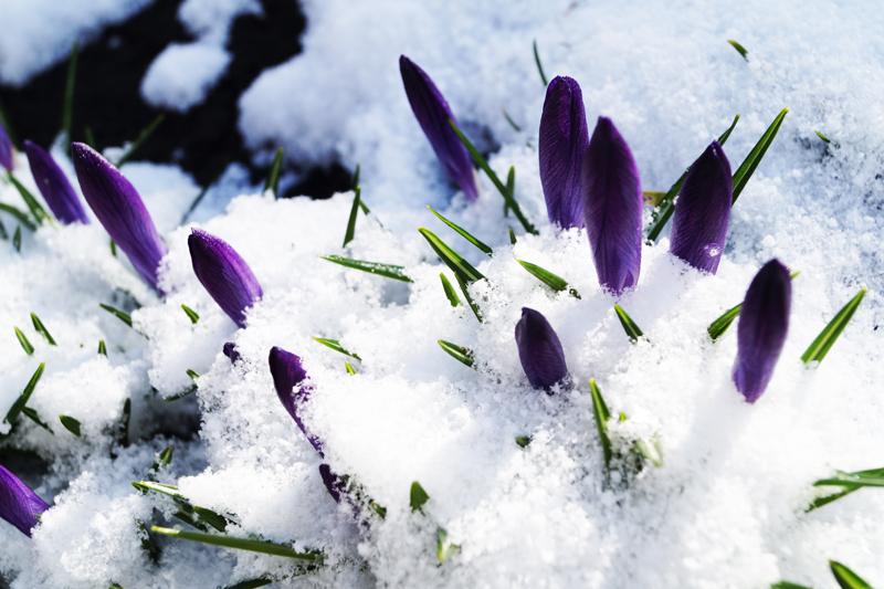 клумба с фиолетовыми крокусами - бутоны под снегом