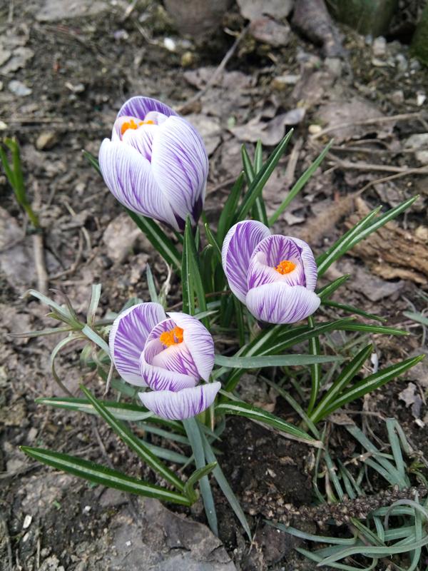 фото с 3 крокусами весной