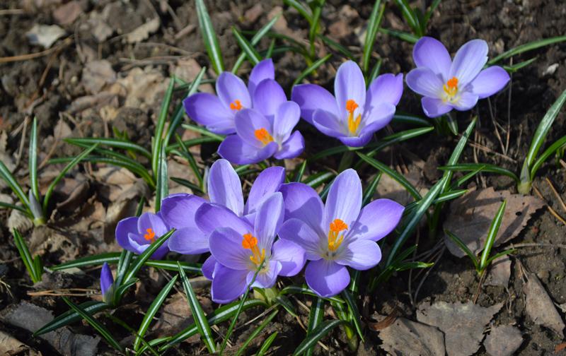 Первоцвет крокус фиолетовый