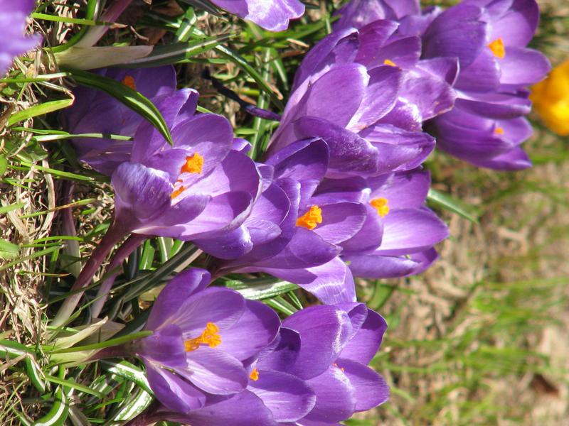 Клумба с крокусом - распустившиеся синие цветы