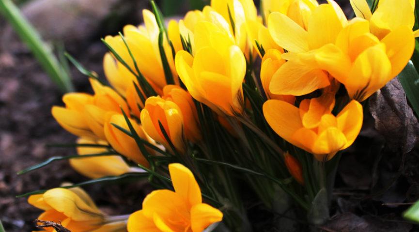 Красивые крокусы фото цветов в клумбе и в снегу, посадка и уход (новые картинки)